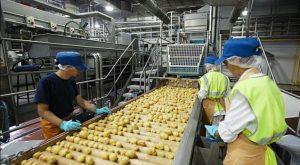 قیمت سورتینگ سیب زمینی