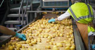 تولیدی سورتینگ سیب زمینی
