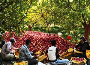 دستگاه سورتینگ سیب درختی