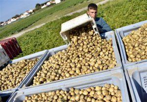 خرید دستگاه سورتینگ سیب زمینی